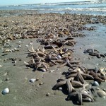 Hundreds of starfish washed ashore along many of the Lowcountry barrier islands last week. PHOTO BY Jane McMackin