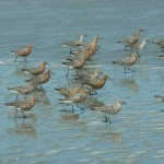 closeup of red knots