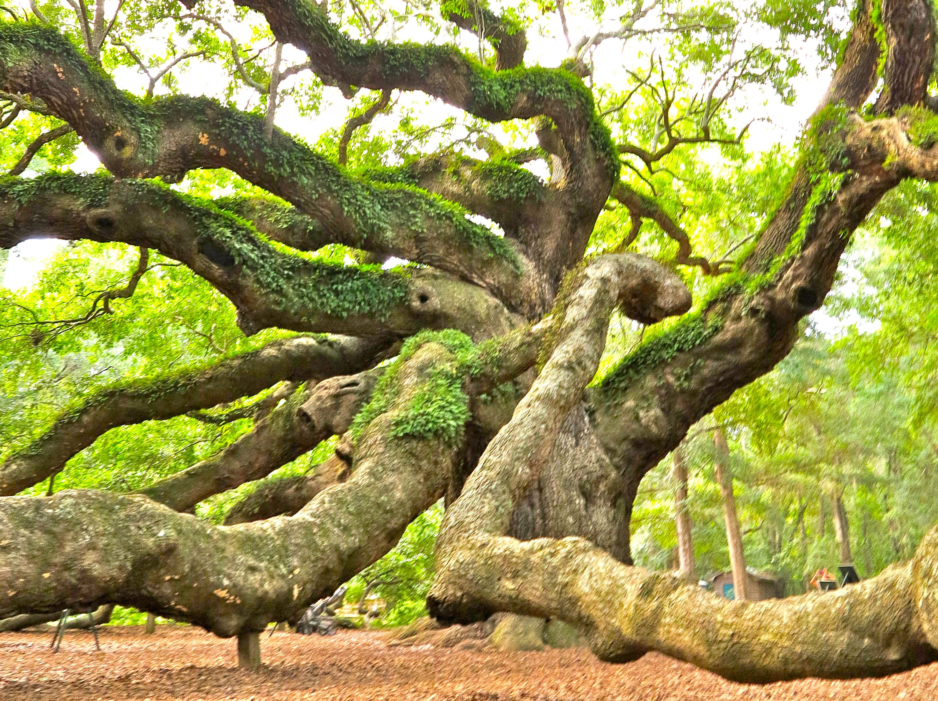 Angel Oak Property Purchased By Land Trust - The Island