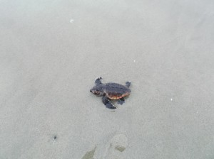 Up to 23 percent of Kiawah's Loggerhead turtle nests have been impacted by coyotes this season.