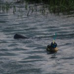 Goose the manatee travels with a transmitter that people should not disturb. (Photo by Emily Fairchild)