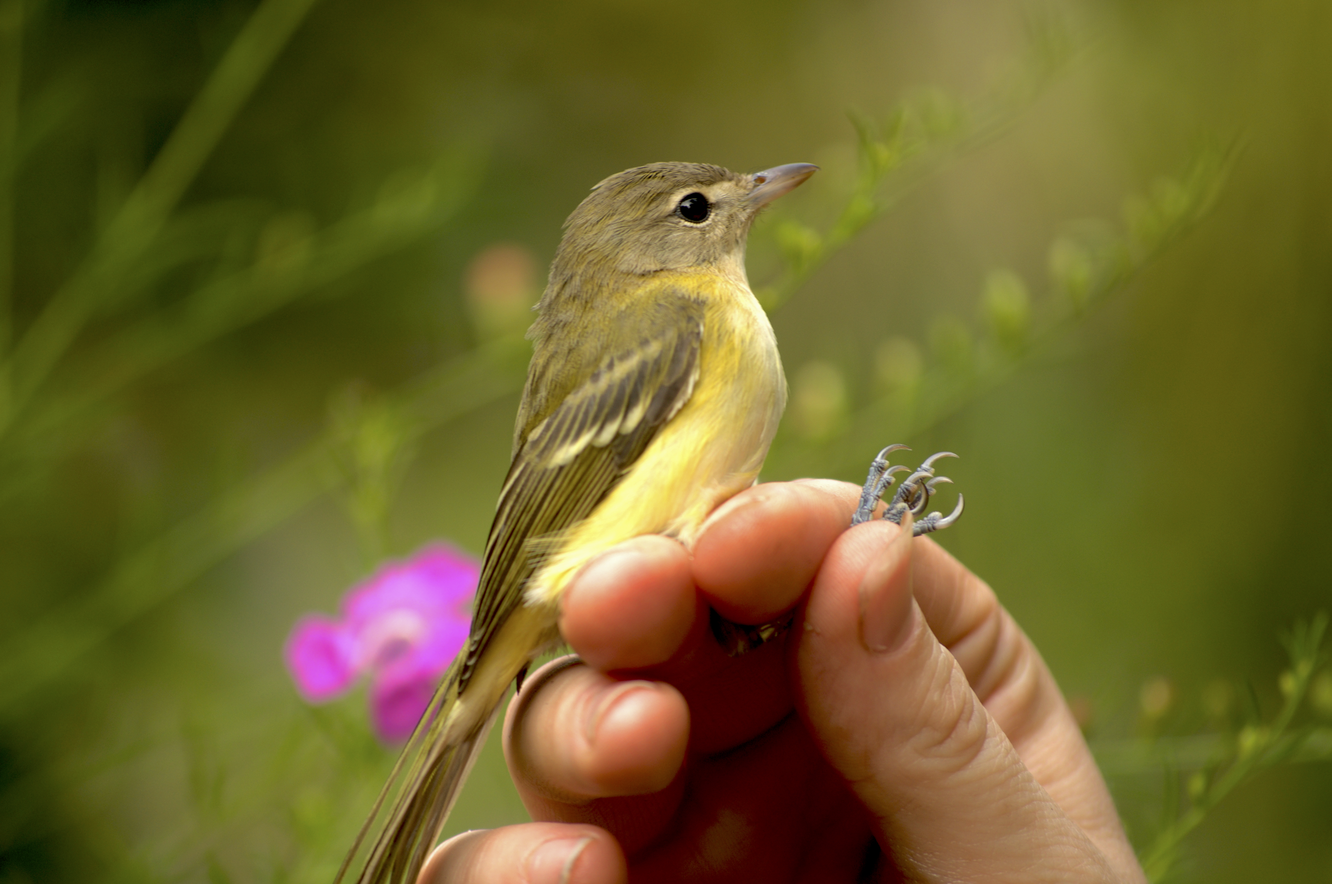 Local biologists recently discovered the migratory bird Bell's Vireo on Sullivan's Island.